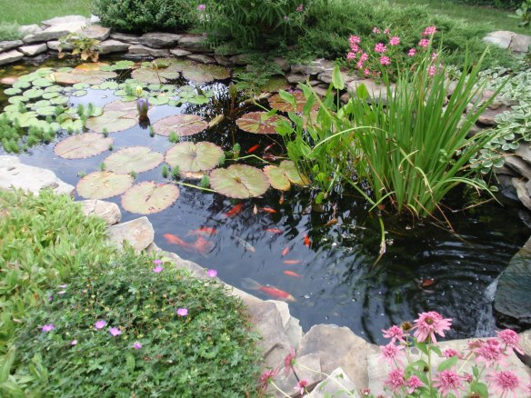 My pond in a better year!