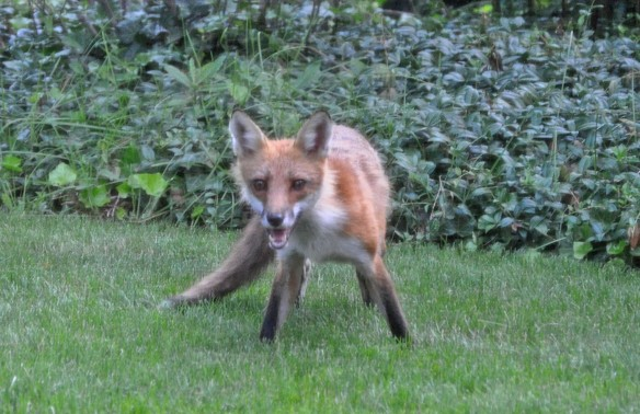Juvenile fox on the defensive