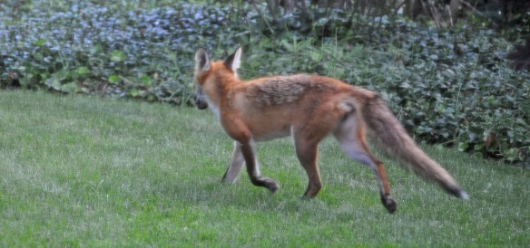 Juvenile red fox runny away from crazy clapping man.