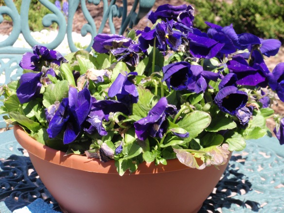 These WERE my pansies!
