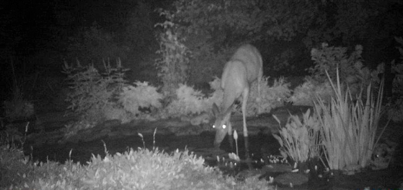 Last year the deer enjoyed the pond flowers!
