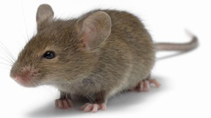 I very unhappy mama mouse. Source: Google