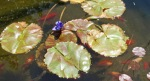 The water lily as it looks in my pond now.