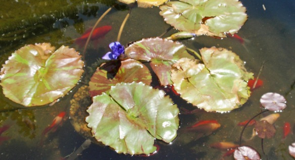 The water lily as it looks in my pond now surrounded by loving fish.