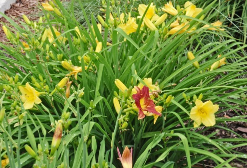 Daylilies in yard