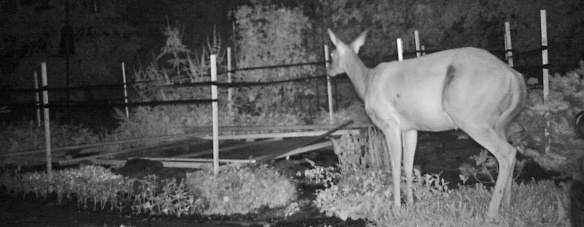 deer with barrier up around pond