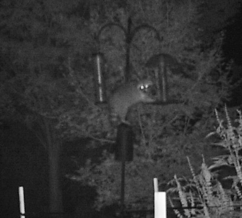 raccoon at feeder