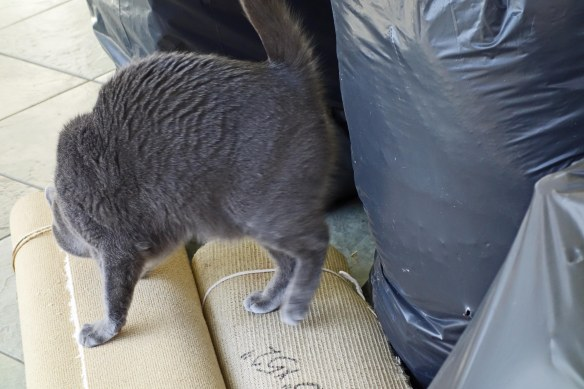 "Morgan carefully inspecting trash: ""Nope! No catnip here!"""
