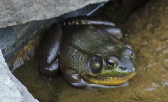 Frog: Listen if the cats don't appreciate you, come join us. There's room in the pond!
