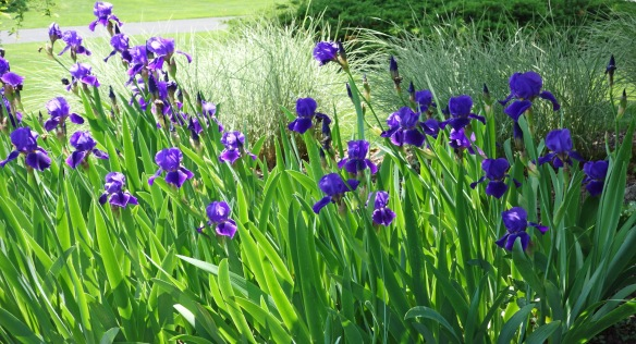 Irises from my yard.