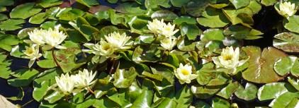 yellow waterlilies2016