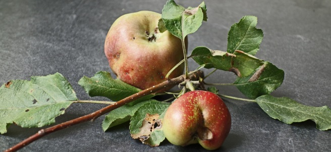 The last apples from my tree.