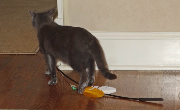Gracie dragging her feather back to the family room.